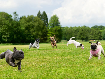 Five small dogs running and playing on the green grass in a park.