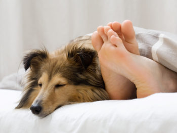 A Sheltie sleeps by its owners uncovered feet on a mattress with white sheets.
