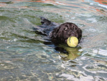 A black dog swims in water with a tennis ball clutched in its mouth.