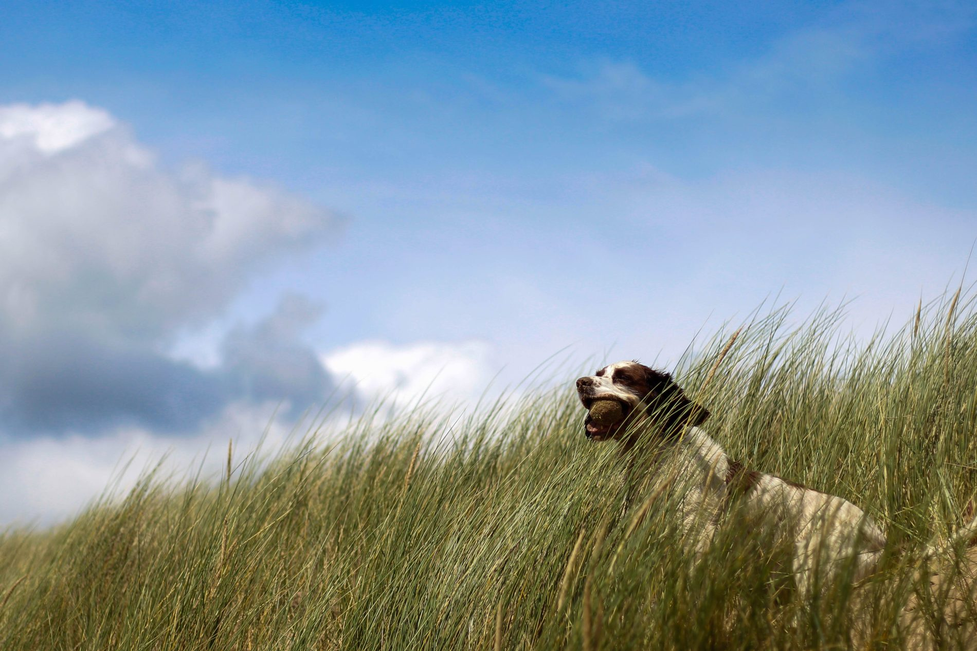 A dog with a ball in its mouth sits in high grass as the wind blows.