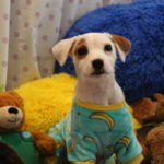 Disco the dog wearing blue pajamas with yellow cuffs and yellow bananas polka dotted on them.