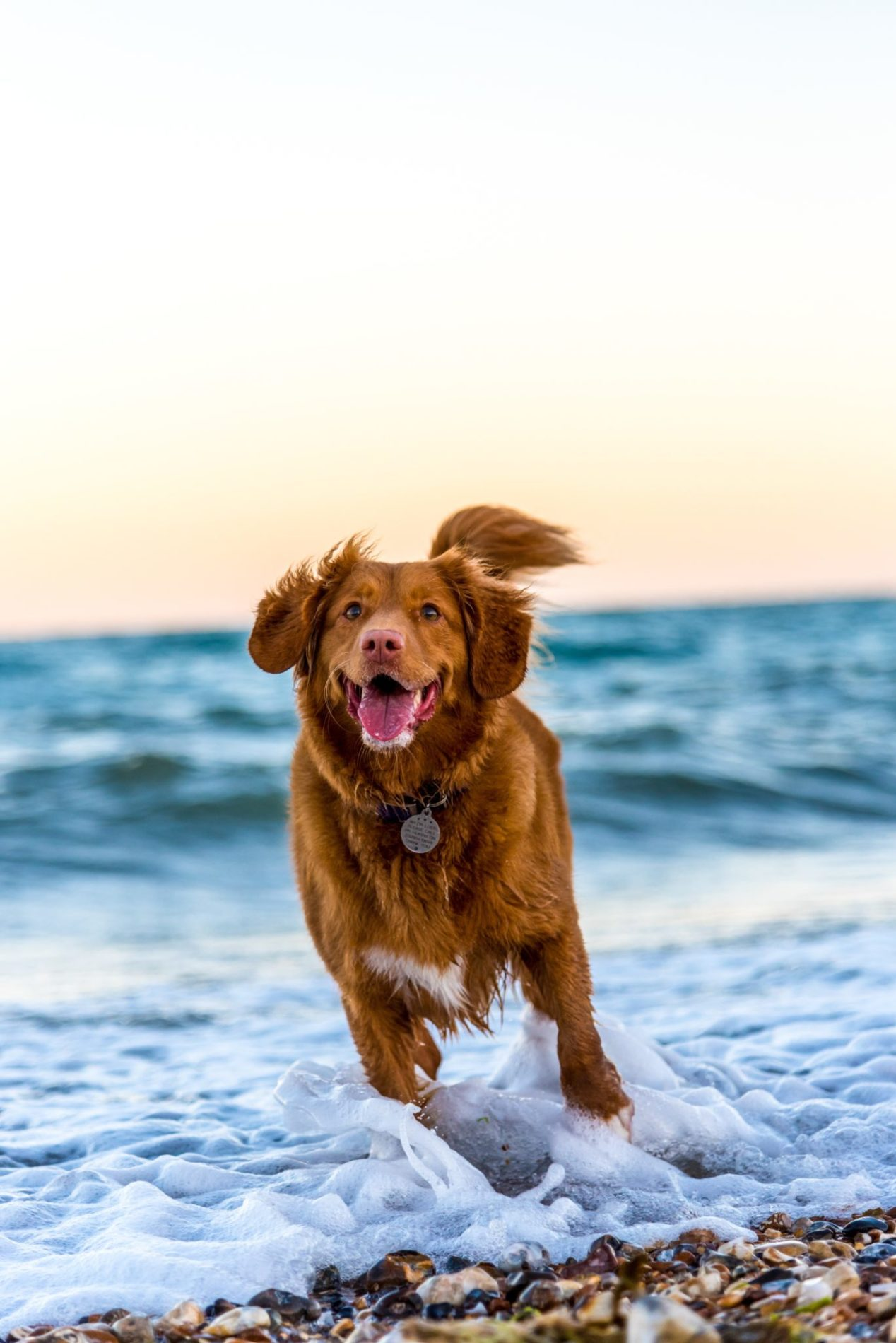 A medium-sized dog runs through foamy ocean water with a big smile.