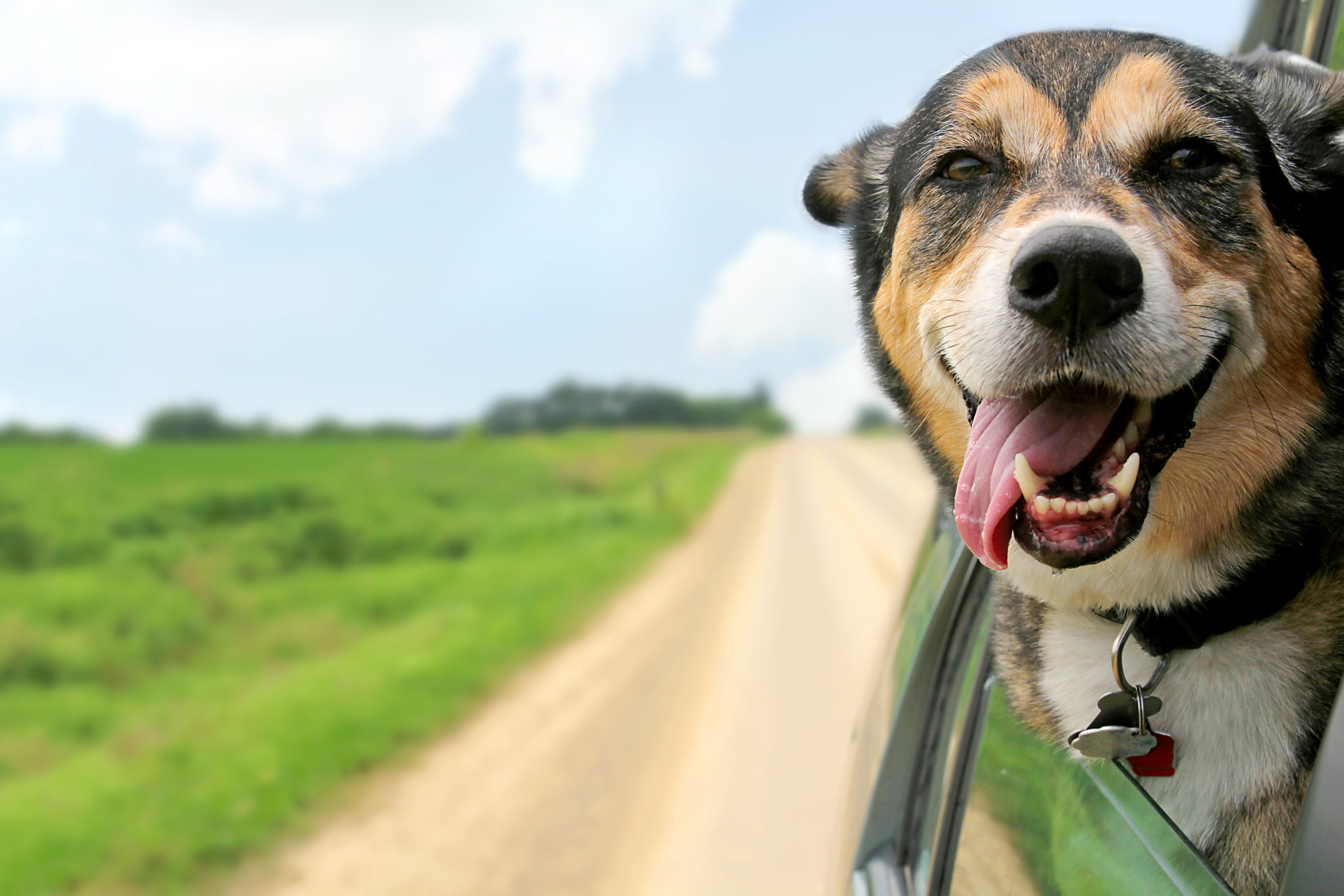 Happy dog hanging out of a car window while being driven down a dirt road beside a green field.